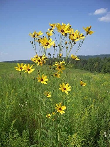 Coreopsis tripteris, (Tall Coreopsis) Tickseed,200 Seeds, Stand out Flowers