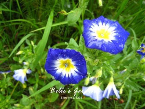 100 pcs/sac graines de pétunia, pétales de double graines de fleurs de pétunia, plante en pot bonsaï vivaces pour le jardin de la maison 7