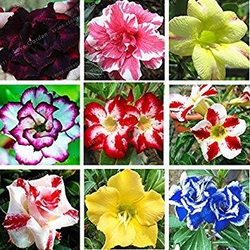 Virtue Heißer Verkauf Bonsai Adenium Obesum Samen Balkon Blumen Samen 1 Stücke Regenbogen Wüstenrose Samen Für Hausgarten Einfach Zu Wachsen Rot