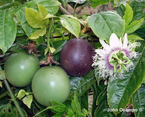 Purple Passion Fruit vigne, Passiflora edulis, 60 graines (rapide, comestible, Showy)