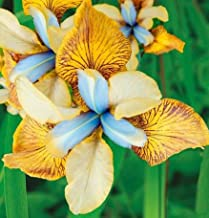 Flying Fiddles Siberian Iris Root, Bulb, Great for any Garden, Great as a Houseplant