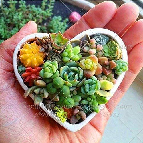 100 pcs/sac vrai mini graines de cactus succulentes rares plantes vivaces d'herbes succulentes bonsaï graines de fleurs en pot plante d'intérieur pour la maison
