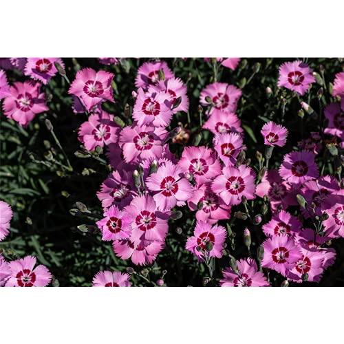 Dianthus plumarius - Feder-Nelke - 9cm...