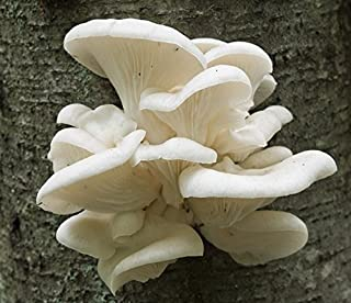 Pleurotus pulmonaris (Oyster white) Mushroom / Mycelium Spores Spawn Dried Seed