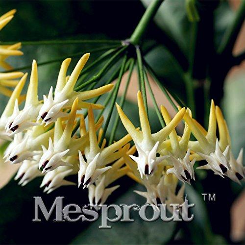 100pcs Rocket Seeds Hoya, graines d'orchidées, rares Graines Heirloom tectorum vivace Fleur plantes bricolage SeedsAndPlants Bonsai