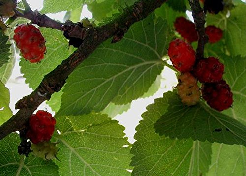 SAFLAX - Set regalo - Mora negra - 200 semillas - Con caja regalo/envío, etiqueta para envío, tarjeta de felicitación y sustrato de cultivo y fertilizante - Morus nigra