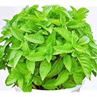"""""""Semillas de plantas de citronela Semillas repelentes de mosquitos de hierba dulce Mozzie Buster 30+ para la siembra de jardines de jardín"""
