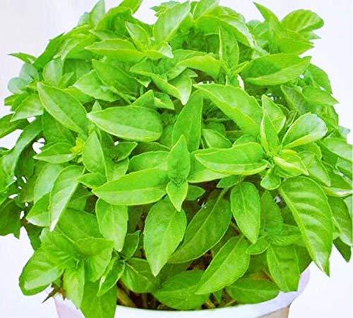 'Semillas de plantas de citronela Semillas repelentes de mosquitos de hierba dulce Mozzie Buster 30+ para la siembra de jardines de jardín