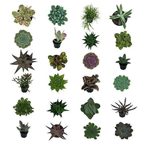Pasiora Sukkulenten Mix im 6cm Topf, verschiedene kleine Pflanzen, Geschenkset (24 Stück)