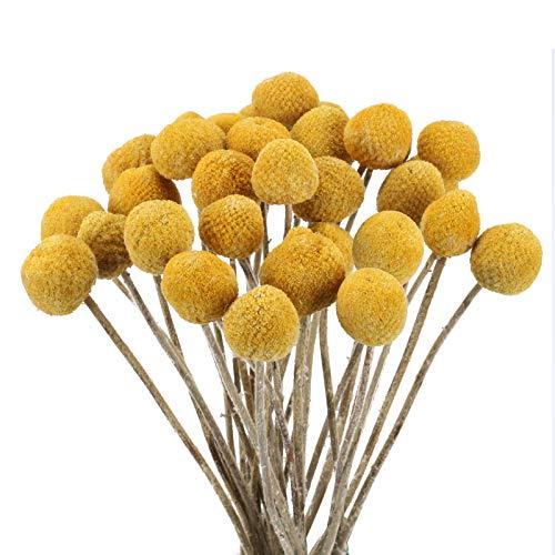 HUAESIN 30pcs Trockenblumen Craspedia Globosa Getrocknete Blumen Echte Blumen Natürliche Trockenblumen Kunstblumen Gelb für Hochzeit Party Tischdeko Fotografie Requisiten Dekoration 43cm