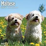 2021 Maltese Wall Calendar by Bright Day, 12 x 12 Inch, Cute Dog Puppy
