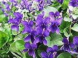 ニオイスミレ - クイーン シャーロット(150種)多年生の花