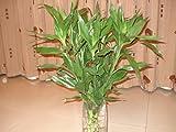 100% auténticos 50pcs Raras semillas de bambú de la suerte contra la radiación Absorbe semillas del árbol de polvo 49% Negro