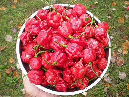 (500) Trinidad Scorpion Butch T Seeds ~ Reiner Stamm ~