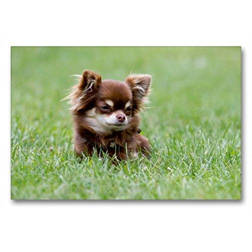 Calvendo Premium Lienzo 90 cm x 60 cm Horizontal, un Motivo del Calendario Chihuahuas – Pequeño rompecristas de Corazones, Imagen sobre Bastidor, Lienzo Listo para Lienzo, Animales