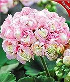 Cioler Seed House - Debout debout géranium graines Pelargonium vivaces jardin fleurs graines Hardy bonsaï plante en pot pour jardin balcon/terrasse