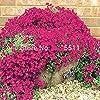 Escalade Fleur 100 Aubrieta Graines Cascade Purple Flowers Seed, Superb vivace Couvre-sol floraison des plantes pour jardin #2