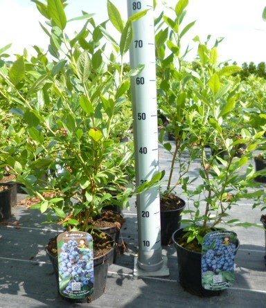 Heidelbeeren Pflanze, Trauben Heidelbeere Vaccinium corymbosum, ca. 60cm im Topf gewachsen, sehr ertragreiche Sorte