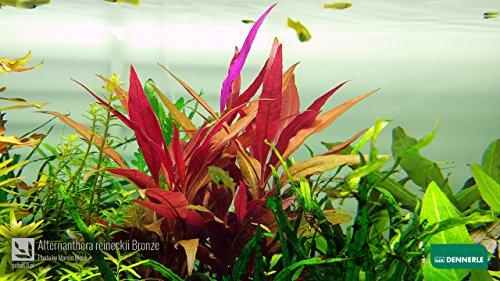 Schmalblättriges Papageienblatt / Alternanthera Reineckii Bronze - Aquarium-Pflanze, 1 Bund