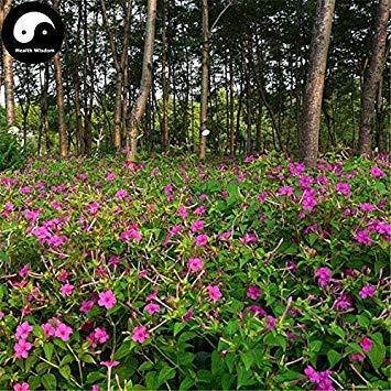 Potseed Keimfutter: 60pcs: Kaufen Mirabilis Jalapa Blumensamen Pflanze Blumengarten Mirabilis Jalapa