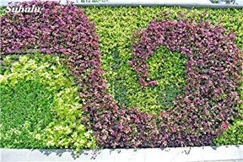 VISTARIC 5: Mix Boston Seeds 100% vrai Parthenocissus tricuspidata semences Plantes d'extérieur QUASIMENT soins décoratifs Escalade usine 100 Pcs 5