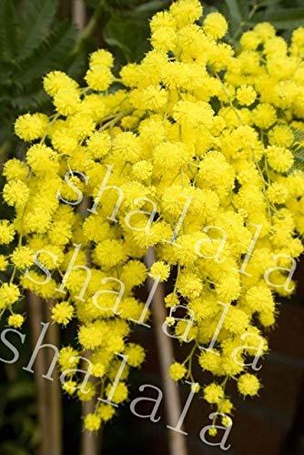 Ferry 35pcs / Bag Mimose Grass Sensitive Bonsai gelb Mimose leuchten Ihrem Garten für Garten Decorationn: 2