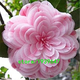 Rare Light Pink Camellia Seeds Potted Plants Garden Flower Seeds Potted Bonsai Tree Japanese Camellia Seed 50PCS