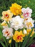 Kisshes Seedhouse - 100pcs Graines de Narcisses Jonquille grainé fleur graine jardin résistant au froid