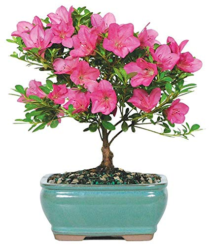 Brussel's Bonsai Live Satsuki Azalea Outdoor Bonsai Tree-5 Years Old 6' to 8' Tall with Decorative Container, Small