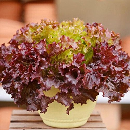 200pcs / lot italiens Graines de laitue Good Taste Great Salad Choix, facile à cultiver légumes Bonsai Diy Maison & Jardin