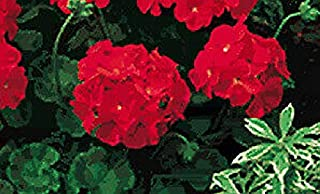 Geranium Pinto Premium Red Deep Annual Flowers Seeds 100 Pcs an