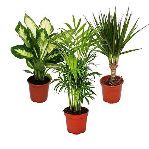 Exotenherz - Exotenherz -Zimmerpflanzen-Set - Dieffenbachia - Chamaedorrea elegans- Dracaena marginata - 3 Pflanzen - pflegeleicht - luftreinigend - 12cm Topf