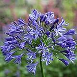 Agapanthus 'Headbourne Hybrids' 10 semillas frescas