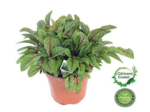 Blut-Ampfer, Blutampfer Pflanze, frische Kräuter Pflanze aus Nachhaltigem Anbau
