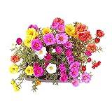 Charm4you Mezcla Semillas Ornamentales,Semilla de Plantas de Flores 0.5 kg,Raras Semillas de Hierba