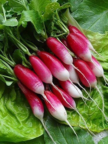 50 Graines semence radis 18 jours BIO graines certifiées fleur/potager/ bulbe