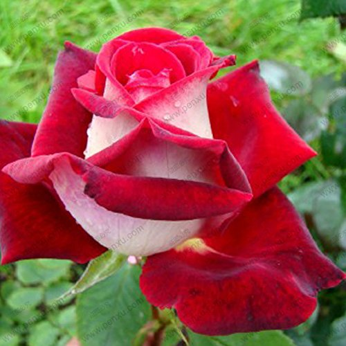 rares japonais Blue Rose bonsaï de semences graines de fleurs, 17 paragraphe couleur sélectionnable de graines de Rose 50 particules / sac