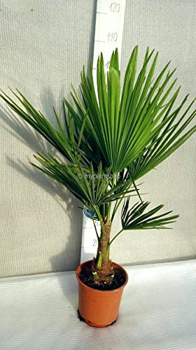 Winterharte Hanfpalme - Trachycarpus fortunei - 70-90 cm Topf Ø 22cm - 5ltr.