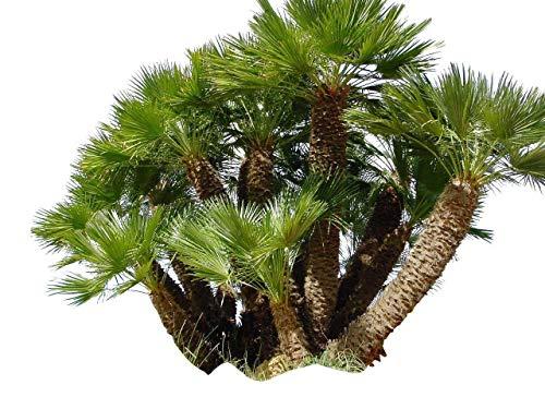 10 Samen Zwerg-Dattelpalme -Phoenix roebelinii-...