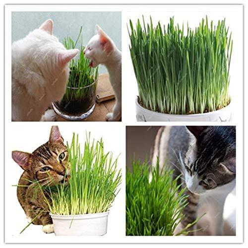 ! Grote verkoop gratis verzending 1000 stuks Cat Grass Bonsai bladplant Bonsai Wheat Grass muntgeur Superior kattenvoer voor uw huisdier: 100 stuks