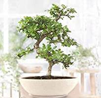 Abana Homes® Flowering Carmona Indoor Bonsai Live Plants - 4 Year Old 20cm
