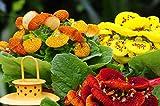 Yukio Samenhaus - Raritäten Pantoffelblume (Calceolaria) mix Ungiftige Zimmerpflanzen für Katzen Blumensamen Mischung winterhart mehrjährig