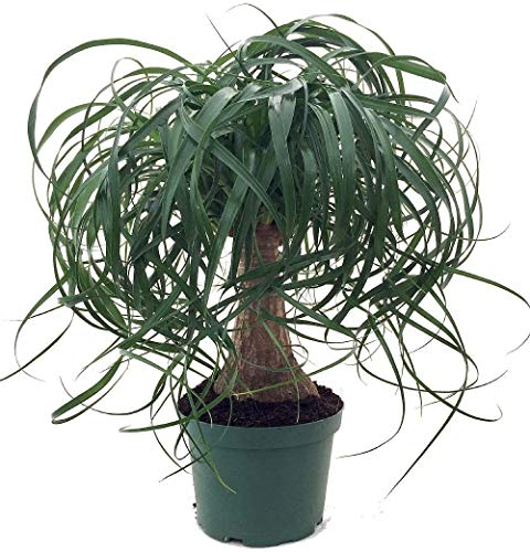 """Jmbamboo Guatemalan Red Ponytail Palm - Beaucarnea - 6"""" Pot - Easy to Grow - Live Plant"""