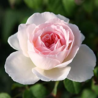 Own-Root One Gallon Sharifa Asma David Austin Rose by Heirloom Roses