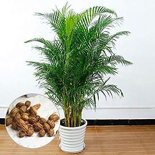 PANGUN Egrow 5個/パック鉢植え竹の種子ホームデコレーションアレカパーム盆栽蝶ヤシの植物盆栽