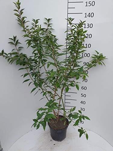 Späth Forsythie 'Lynwood' LH 80-100 cm im 7,5 Liter Topf Heckenpflanze winterhart Zierstrauch gelb blühend