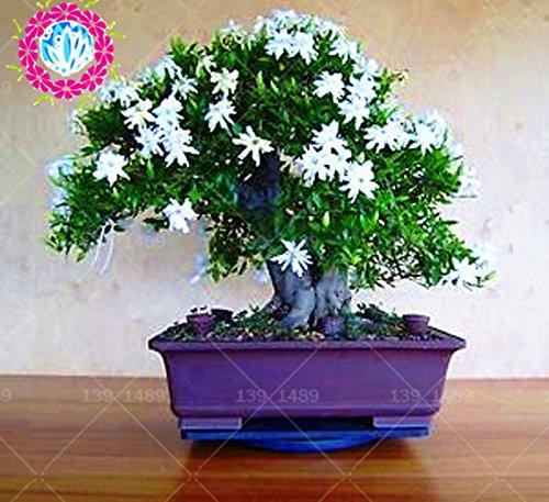 20 pcs Arabe blanc plantation aromatique de jasmin
