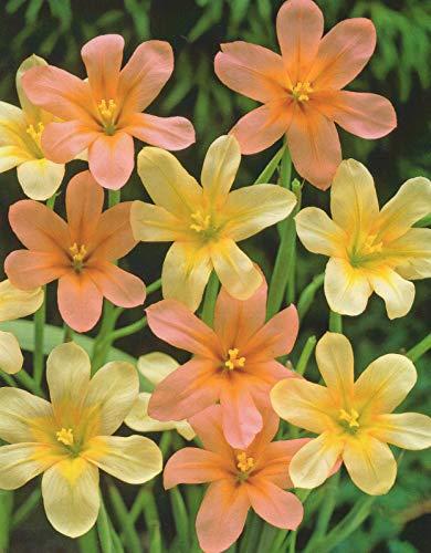 Homeria gemischt Südafrikanische Tulpe Blumenzwiebeln (10 Blumenzwiebeln)