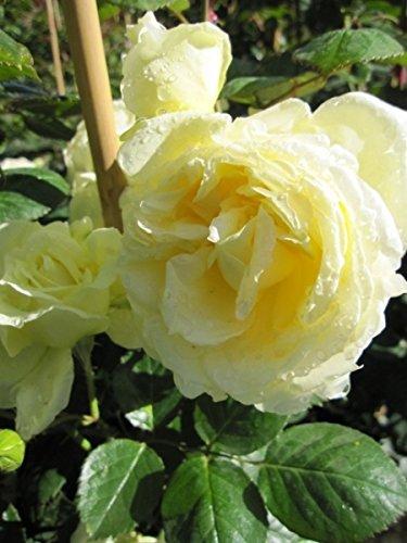 Kletterrose Elfe® - Rosa Elfe® - creme-gelbgrün - Duft+++ - Tantau-Rose