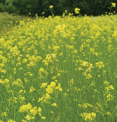David's Garden Seeds Cover Crop Mighty Mustard Pacific Gold 2821 (Yellow) Open...